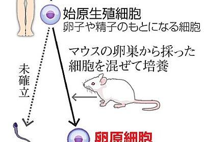 ヒトiPSから卵子「手前」の細胞 不妊症の解明へ道:朝日新聞デジタル