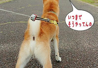 散歩は続くよ、いつまでも - まろが行く!~我が家の柴犬日記~