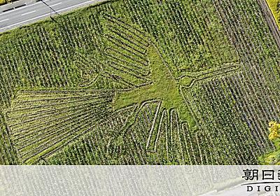 里芋畑に「ナスカの地上絵」 本物の3分の2 山形:朝日新聞デジタル