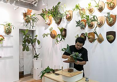 ビカクシダを壁に飾る存在感のあるビカクシダを板付きにする方法を学ぶ | ToKoSie ー トコシエ