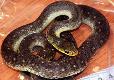 マイナー毒蛇から小5救う 血清開発したヘビ園に聞く対策の闇