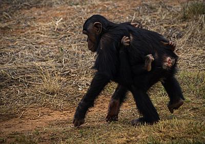 チンパンジーは「お尻」で仲間を見分けている:研究結果 WIRED.jp