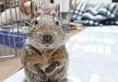 環境エンリッチメントを動物飼育に取り入れよう! - デグーと暮らすライフスタイル