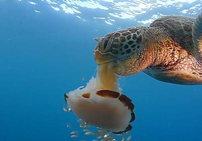 クラゲの大量発生に利点? 実は多くの動物の餌に | ナショナルジオグラフィック日本版サイト