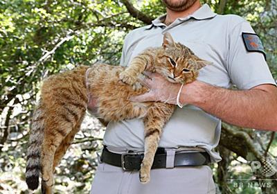 仏コルシカ島で「キツネネコ」捕獲?当局は新種と主張 写真11枚 国際ニュース:AFPBB News
