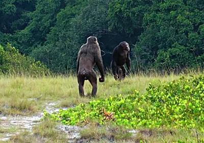 「野生のチンパンジーがゴリラを殺害」世界初の報告がされる(アフリカ) - ナゾロジー