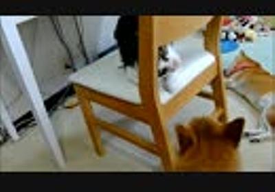 柴犬の顔を見てクネクネする猫