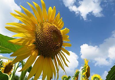 ひまわりが太陽の方向を向くのは何故?実は花ではなく茎が関係していた!? - アタマの中は花畑