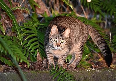 奄美大島:ノネコ捕獲で論争 クロウサギ捕食で - 毎日新聞