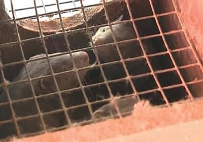 CNN.co.jp : 毛皮農場のミンクがコロナで大量死、人間から感染か 米