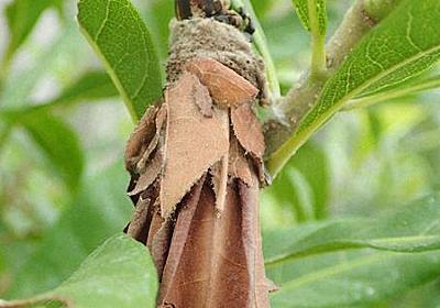 ミノムシから世界最強の糸 クモの糸よりも強く丈夫 興和など開発 - 毎日新聞