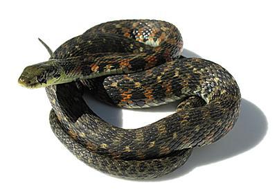 ヤマカガシは毒ヘビらしくない毒ヘビです - コバろぐ
