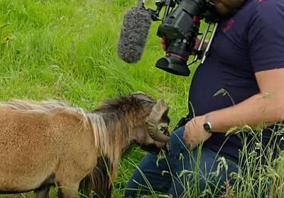 BBCの番組でハプニング、羊が股間に頭突きをし、カメラマンが悶絶 – Switch News(スウィッチ・ニュース)
