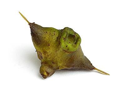 天然のマキビシ、ヒシの実を採って食べたい :: デイリーポータルZ