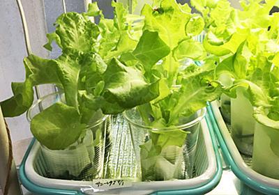 100均スポンジで野菜を作ろう! 人気ブロガーのアイデア溢れる水耕栽培