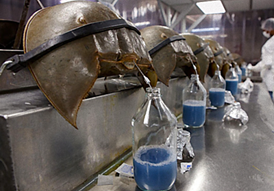 カブトガニはもう無駄に青い血を流さなくてよいのだ。カブトガニの採血が段階的に廃止されることが明らかに(アメリカ) : カラパイア
