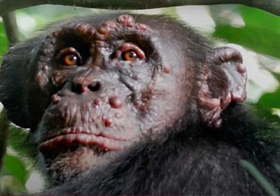 「ハンセン病」にかかった野生のチンパンジー が初めて確認される | 皮膚にブツブツ、一部体の変形も