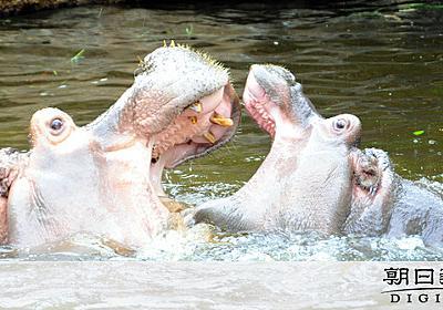 動物園「余りやすい動物」の運命 あるカバが歩んだ道:朝日新聞デジタル