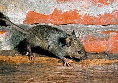 タグ「ネズミ」 を検索 - はてな...