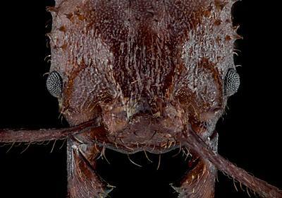 ハキリアリは鉱物の「よろい」に覆われていた、昆虫で初 | ナショナルジオグラフィック日本版サイト