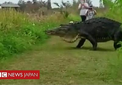 23fab330ae6b 米フロリダで巨大ワニがのっそりゆったり - BBCニュース