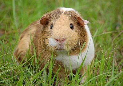 モルモットは寂しがり屋。スイスの「モルモット単独飼育禁止令」に倣って専門家が正しい飼育法をアドバイス : カラパイア