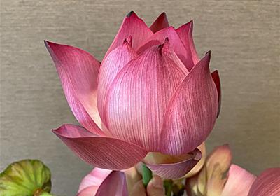 今年初の蓮の花束を買う@ハノイ - ハノイ駄日記