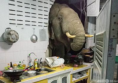野生ゾウ、タイ民家の壁突き破って台所あさる 住民「もう慣れた」 写真3枚 国際ニュース:AFPBB News