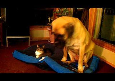 Cat (LB) Steals Duncans Dog Bed