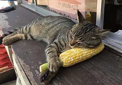 幸せそうなかわいい寝顔 とうもろこしを枕に寝る猫ちゃんがとっても気持ちよさそう - ねとらぼ