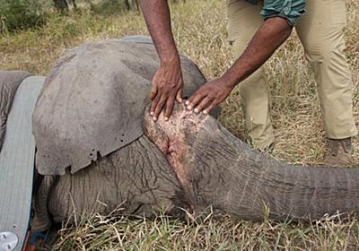 牙のない雌ゾウが増加、密猟への遺伝的な反応で モザンビーク