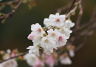 金沢城公園「十月桜」 - 金沢おもしろ発掘