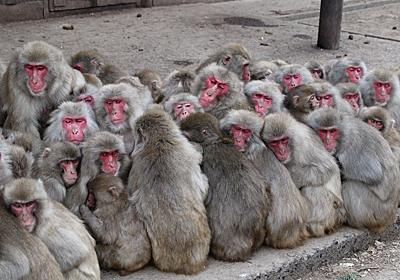 香川・お猿の国:これが「サル団子」 体寄せ合い暖をとる - 毎日新聞