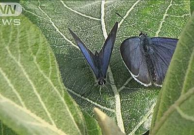 日本固有のチョウ初の絶滅か 原因は外来トカゲ?|テレ朝news-テレビ朝日のニュースサイト