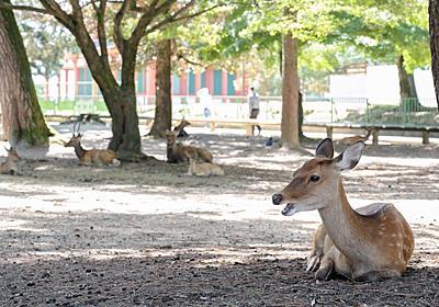 「鹿せんべい依存症」の兆候、観光客減で激やせのシカ(1/2ページ) - 産経ニュース