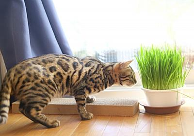 猫が猫草を食べない。食べた方がいいんじゃないの?を解決! | 幸せ!発見いっぱい モフモフと暮らそう