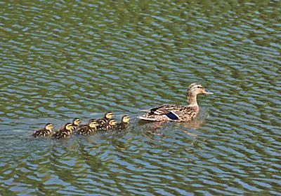カモの親子が一列に泳ぐ理由は「うしろの子ガモに推進力を与えるため」と判明 - ナゾロジー