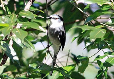 沖縄の野鳥、首都圏で目撃相次ぐ 温暖化で北上か:朝日新聞デジタル