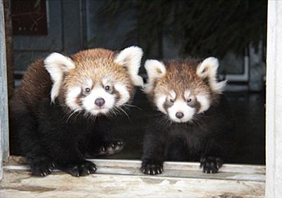 はじめましてー 静岡・日本平動物園でレッサーパンダの双子ちゃんが誕生 一般公開や名前の募集がスタート - ねとらぼ