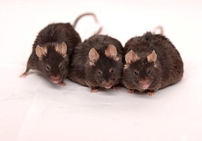 長生きの鍵はカロリー摂取量より空腹の時間、マウス研究