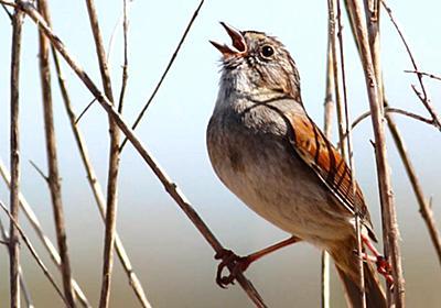 「鳥の歌は何百年にもわたって伝承されている」と研究者が指摘 - GIGAZINE