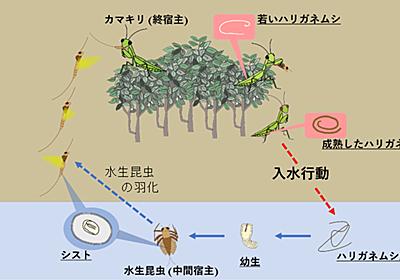 ハリガネムシは寄生したカマキリを操作し水平偏光に引き寄せて水に飛び込ませる | Research at Kobe