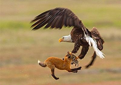 ウサギを捕獲した子キツネを瞬時につかみ去るハクトウワシの狩りの瞬間を撮影した動画と写真 : カラパイア