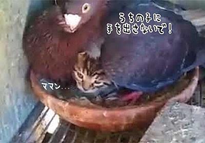 ポッポボァアアア!ハトが大事そうにあたためているヒナは猫だった : カラパイア