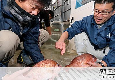 マッスル増大マダイ、食べますか ゲノム編集の議論途上:朝日新聞デジタル