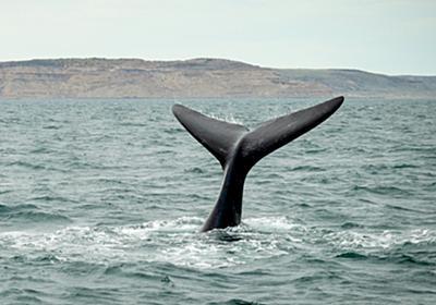 池田教授が一刀両断。いまさら国際捕鯨委員会を脱退する日本の愚 - まぐまぐニュース!