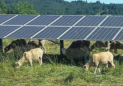 太陽光発電と「羊の放牧」を組み合わせると維持コストが下がる - GIGAZINE