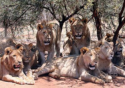 ライオンの群れ、サイの密猟者たちを食べる 南ア 写真1枚 国際ニュース:AFPBB News