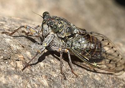 ナノ表面構造に強力な抗菌効果、トンボの羽から着想 豪研究 写真1枚 国際ニュース:AFPBB News