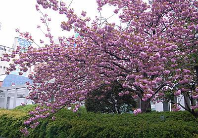 桜のシーズン - 海外移住する野望